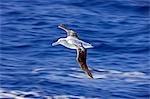 L'Antarctique, la péninsule Antarctique, un albatros Royal (Diomedea epomophora) en vol au-dessus de la mer ensoleillée