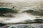 L'Antarctique, Passage de Drake. Albatros déferle gracieusement sur les eaux de vent orageuses de la traversée du Passage de Drake de l'Antarctique continental de l'Amérique du Sud