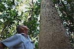Un homme Regarde un pin Kauri dans la vallée de Pile sur l'île de Fraser. Les pins Kauri de Fraser Island, autrefois très prisé par les journaux, sont maintenant protégés par World Heritage Listing l'île.