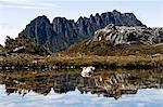 Australia,Tasmania. Peaks of Cradle Mountain (1545m) reflected in a tarn on 'Cradle Mountain-Lake St Clair National Park' - part of Tasmanian Wilderness World Heritage Site.