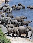 Un grand troupeau d'éléphants boire à la rivière Chobe. Éléphants peuvent passer plusieurs jours sans eau, mais boire et se baigner tous les jours par choix.Durant la saison sèche, quand tous les trous d'eau saisonniers et casseroles ont séché, des milliers d'animaux sauvages convergent sur la rivière Chobe, à la frontière entre le Botswana et la Namibie. Le parc est justement célèbre pour ses grands troupeaux d'éléphants et de buffles.