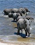 Éléphants boivent à la rivière Chobe. Éléphants peuvent passer plusieurs jours sans eau, mais boire et se baigner tous les jours par choix.Durant la saison sèche, quand tous les trous d'eau saisonniers et casseroles ont séché, des milliers d'animaux sauvages convergent sur la rivière Chobe, à la frontière entre le Botswana et la Namibie. Le parc est justement célèbre pour ses grands troupeaux d'éléphants et de buffles.