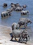 Boisson d'éléphants dans le Chobe River.In la saison sèche, quand tous les trous d'eau saisonniers et casseroles ont séché, des milliers d'animaux sauvages convergent sur la rivière Chobe, à la frontière entre le Botswana et la Namibie. Le parc est justement célèbre pour ses grands troupeaux d'éléphants et de buffles.