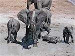 Éléphants profiter d'un bain de boue près de la rive de la rivière Chobe.Durant la saison sèche, quand tous les trous d'eau saisonniers et casseroles ont séché, des milliers d'animaux sauvages convergent sur la rivière Chobe, à la frontière entre le Botswana et la Namibie. Le parc est justement célèbre pour ses grands troupeaux d'éléphants et de buffles...