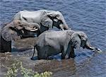 Éléphants boivent à la rivière Chobe. Les éléphants peuvent passer plusieurs jours sans eau mais boire et se baigner quotidiennement par choix.Pendant la saison sèche, quand tous les points d'eau saisonniers et casseroles ont séché, des milliers d'animaux sauvages convergent sur la rivière Chobe, la frontière entre le Botswana et la Namibie. Le parc est juste titre célèbre pour ses grands troupeaux d'éléphants et de buffles...
