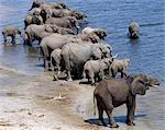 Éléphants boivent à la rivière Chobe. Éléphants peuvent passer plusieurs jours sans eau, mais boire et se baigner tous les jours par choix.Durant la saison sèche, quand tous les trous d'eau saisonniers et casseroles ont séché, des milliers d'animaux sauvages convergent sur la rivière Chobe, à la frontière entre le Botswana et la Namibie. Le parc est justement célèbre pour ses grands troupeaux d'éléphants et de buffles...