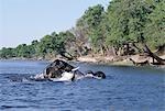 Baignade éléphants dans le Chobe River.In la saison sèche, quand tous les trous d'eau saisonniers et casseroles ont séché, des milliers d'animaux sauvages convergent sur la rivière Chobe, à la frontière entre le Botswana et la Namibie. Le parc est justement célèbre pour ses grands troupeaux d'éléphants et de buffles...