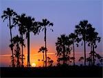 Coucher de soleil sur le bord des salines de Ntwetwe où moklowane ou africaines palmiers poussent à profusion. Ntwetwe est à l'ouest des deux salines énormes, qui composent l'immense région de Makgadikgadi du Kalahari du Nord parmi les plus grandes étendues de marais salants dans le monde.
