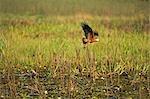 Black Collared Hawk,Busarellus nigricollis,hunting for prey in marshland in the UNESCO Pantanal wetlands of Brazil