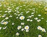 Fleurs sauvages dans le champ