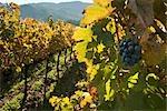 View of Vineyard in Autumn, Napa Valley, California, USA