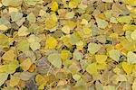Feuilles de peuplier de l'ouest à l'automne, Nuremberg, Bavière, Allemagne