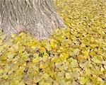 Cottonwood Leaves in Autumn, Nuremberg, Bavaria, Germany
