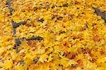 Maple Leaves in Autumn, Nuremberg, Bavaria, Germany