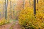 Beech Forest in Autumn, Spessart, Bavaria, Germany
