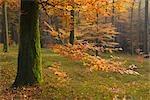 Forêt de bouleaux en automne, Spessart, Bavière, Allemagne