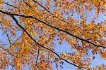 Hêtre à l'automne, Spessart, Bavière, Allemagne