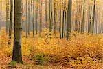 Buchenwald im Herbst, Spessart, Bayern, Deutschland
