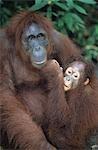 Orangutan embracing young, close-up