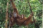 Young Orangutan embracing mother in tree