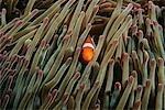 Raja Ampat, Indonesia, Pacific Ocean, false clown anemonefish (Amphiprion ocellaris) hiding in magnificent sea anemone (Heteractis magnifica)