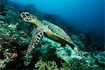 Raja Ampat, Indonesia, Pacific Ocean, hawksbill turtle (eretmochelys imbricata) cruising above coral reef