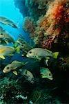 Raja Ampat, Indonesia, Pacific Ocean, school of oriental sweetlips (Plectorhinchus orientalis) congregating in cave below coral reef