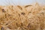 Wheat in field, close-up