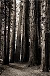 Redwood Trees Along Path Leading to Hamurana Springs, Rotorua, North Island, New Zealand
