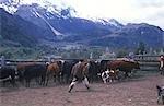 Huaso lassoing calf,Los Vertintes Farm