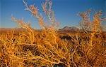 Dry bushes on the side of the road near San Pedro de Atacama,Region II,Chile