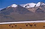 Chile,the salt flats of Salar de Surire. The area is home to migrating Flamingo,Vicuna,Alpaca and Llama.