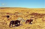 Dartmoor ponies on Fox Tor Mire