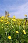 Renoncules de terrain devant l'église de Widecombe-dans-le-Moor. Cet endroit est réputé pour avoir été l'inspiration pour le roman policier de Sherlock Holmes célèbre de Sir Arthur Conan Doyle le chien des Baskerville.