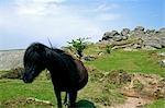 Ponies in front of tor,Dartmoor,South Devon,England