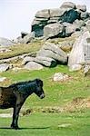 Pony in front of tor,Dartmoor,South Devon,England