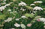 Têtes de fleurs sauvages dans la vallée de Cot, Cornouailles, Angleterre