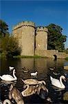 L'Angleterre ; Shropshire ; Whittington. Cygnes nagent dans le fossé qui entoure le château Whittington.