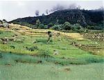 Terrasses agricoles sur l'escarpement occidental de grande vallée du Rift Afrique, à l'ouest du lac Abaya. La culture cultivée est le Teff, une céréale à petits grains, qui est abondamment cultivée en Ethiopie. Il est utilisé pour faire le plat national du pays, injera, fermenté, crêpes de type de pain.