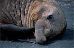 Male sud éléphants de mer (Mirounga leonina) avoir une égratignure.