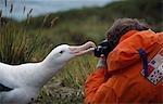 Wandering albatross (Diomedia exulans) gently preening a photographer
