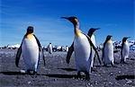 King penguins (Aptenodytes patagonicus).