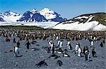 King penguins (Aptenodytes patagonicus) colony