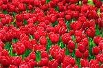 Spain,Madrid,Tulips