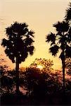 Sunset over the borassus palms