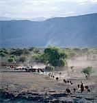 Éleveurs Maasai conduire leur bétail domestique en fin d'après-midi sur le sol volcanique poussiéreux à la base de la paroi ouest du Gregory Rift, qui domine le paysage dans ce coin reculé du Nord de la Tanzanie.