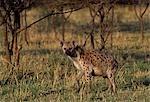 Hyènes tachetées (Crocuta crocuta)
