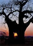 Lever du soleil à travers le trou percé dans un baobab par un éléphant dans le temps sec de Ruaha Parc National du Sud Tanzania.In, éléphants mangent l'écorce et la moelle fibreuse de ces arbres, qui ont une teneur élevée en minéraux et de l'humidité.