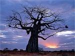 Les rayons du soleil et baobab tree dans le Parc National de Ruaha de Tanzanie Sud.