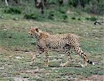 Un guépard marches avec lassitude que lentement et attentivement traque ses proies.